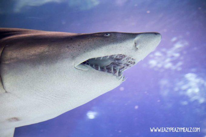 shark-at-squarium