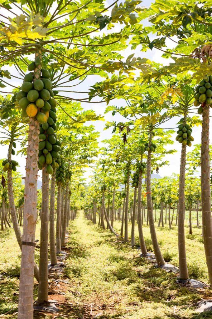 Papaya grove in Kauai