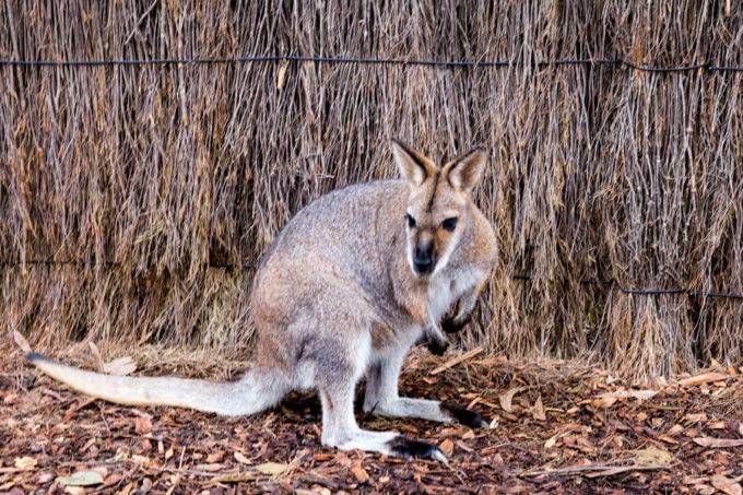 Kangaroo at Taronga zoo
