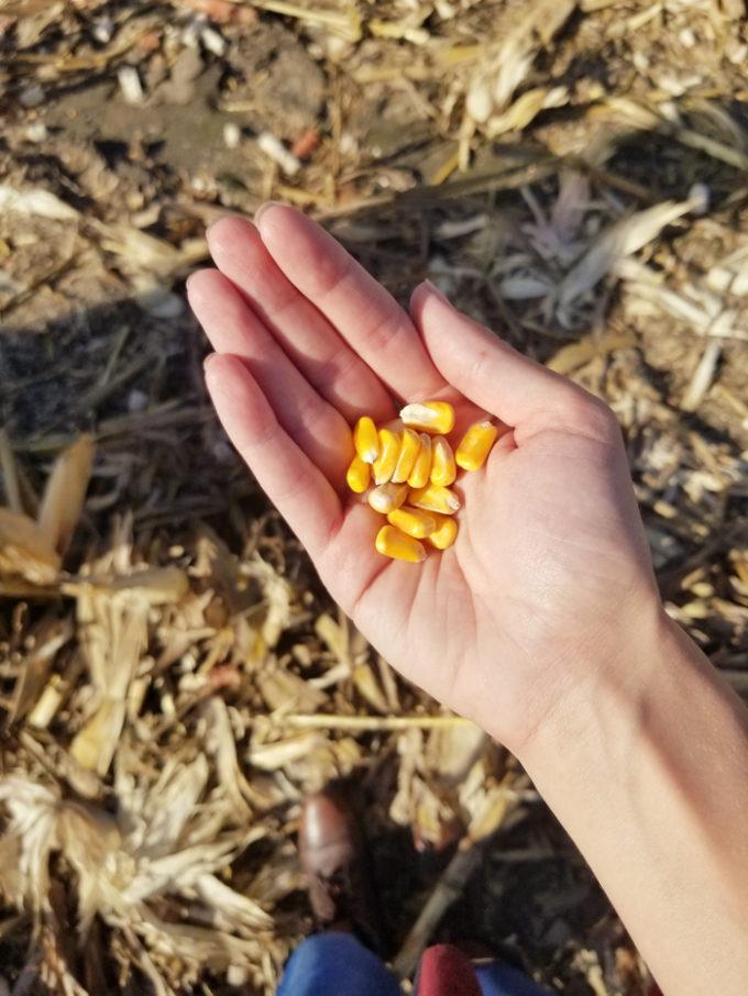 A handful of Iowa Corn